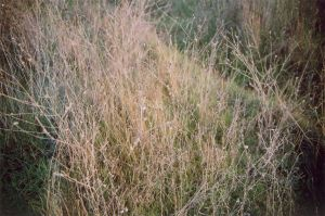 grasses by champaignful