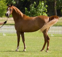 STOCK - TotR Arabians 2013-36 by fillyrox