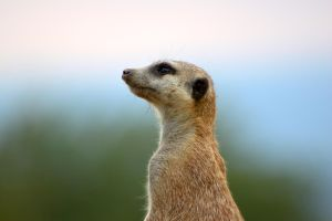 Portrait of a meerkat by DreamingDragon-Fly