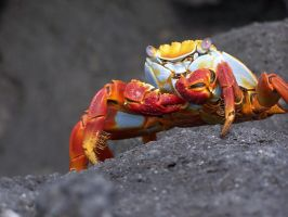 Colorful Crab by ITacosharkI