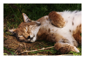 Sleeping Lynx by NicolasAlexanderOtto
