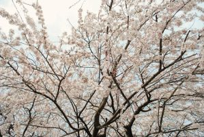 cherry blossoms I by breakeric