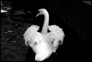The Queen's Swan by St0DaD