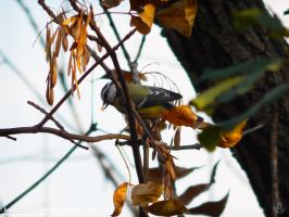 Blue Tit and ash seed by resh11ka