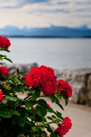 Flowers in Molde by insigma00