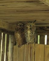 Great Horned Owls 1a by Windthin