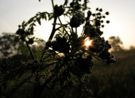 Dew on Cow Parsley by AndromedaRoach