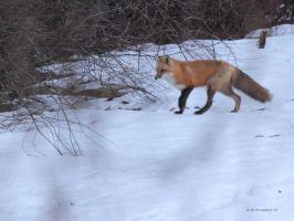 Mouse hunting Red Fox II by natureguy