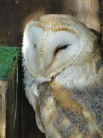Barn Owl 02 by MelieMelusine