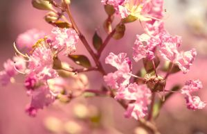 Pink Flowers by MeanBlueThingy