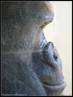 Gorilla Profile by Sweet-Blessings