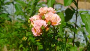 Peached Colored Roses by FallenAngel1059
