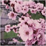 Blossom. II by kle0012