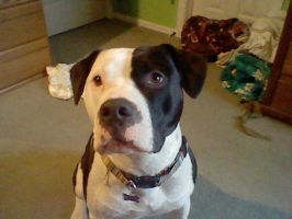 My pit bull: Cletus by Coloran
