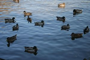 Animals - Family of Ducks by Stock-gallery