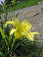 yellow lilly 04 by CotyStock