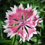 Centaurea - pink 3 by miss-gardener