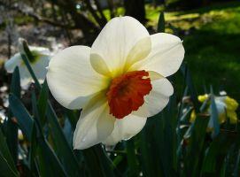 Daffodil Flower Plant Stock by Enchantedgal-Stock