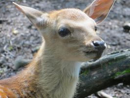 Sika deer (fawn) by scarach82