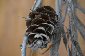 Fir cone by Mecarion