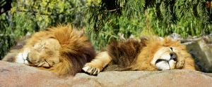 Lion Siesta by MayEbony
