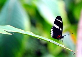Sara Longwing Butterfly by TheSleepyRabbit