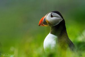 Puffin Portrait by FreyaPhotos
