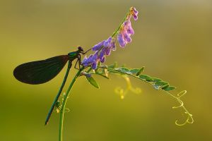 Calopteryx virgo by dralik