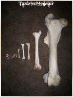 Femurs From Different Worlds  -TaxiderMegsan- by TaxiderMegsan