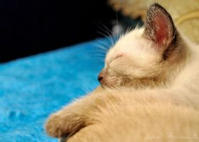 sleeping kitten 2 by lidia-art