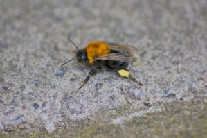 bomble bee hdr by speed-demon