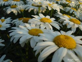 Day 69: Daisies by BengalTiger4