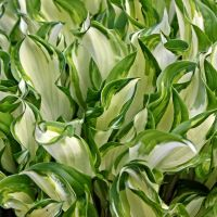 Hosta leaves 2 by miss-gardener