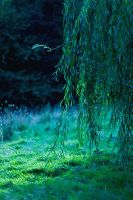 Weeping Willow by Eblis-Images