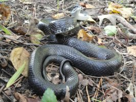 Black Rat Snake Stock 3 by stormymay888