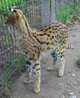 Tautphaus Zoo 68 Serval by Falln-Stock