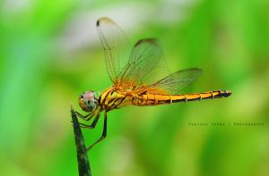 Dragon Fly 2... by prateekverma23