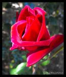 Red Red Rose by LetsAllBeNuerotic