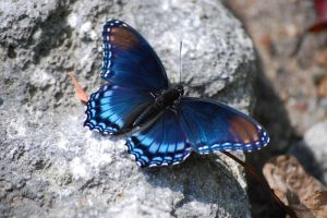 Red-spotted Purple Butterfly 2 by GramMoo