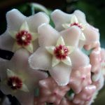 Hoya closeup by miss-gardener