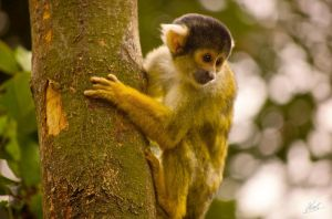 Black Capped Squirrel Monkey 2 by andy1349