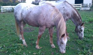 Red Roan Blanket Appaloosa 2 by cluteplayer