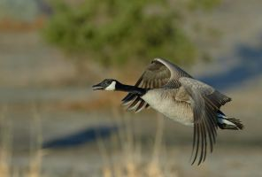 Canada Goose-Morning flight by JestePhotography