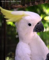 Yellow Crested Cockatoo 080814 by K-lenx-Stock