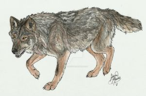 Iberian Wolf by Canis-Simensis