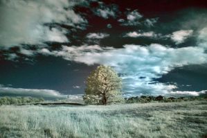 Infrared tree by danny-valentine