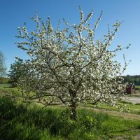Flowering appletree nr 1 by attomanen