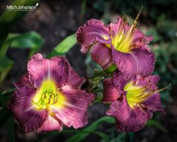 Three in Purple by mjohanson
