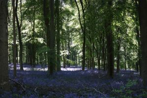 Bluebell wood 3 by Topaz172