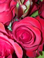Roses by Topas2012